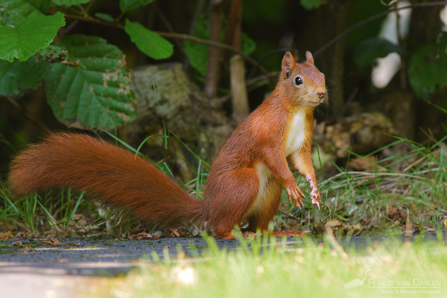 Eekhoorn | Red squirrel | Sciurus vulgaris