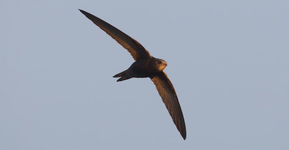Gierzwaluw | Common Swift | Apus apus