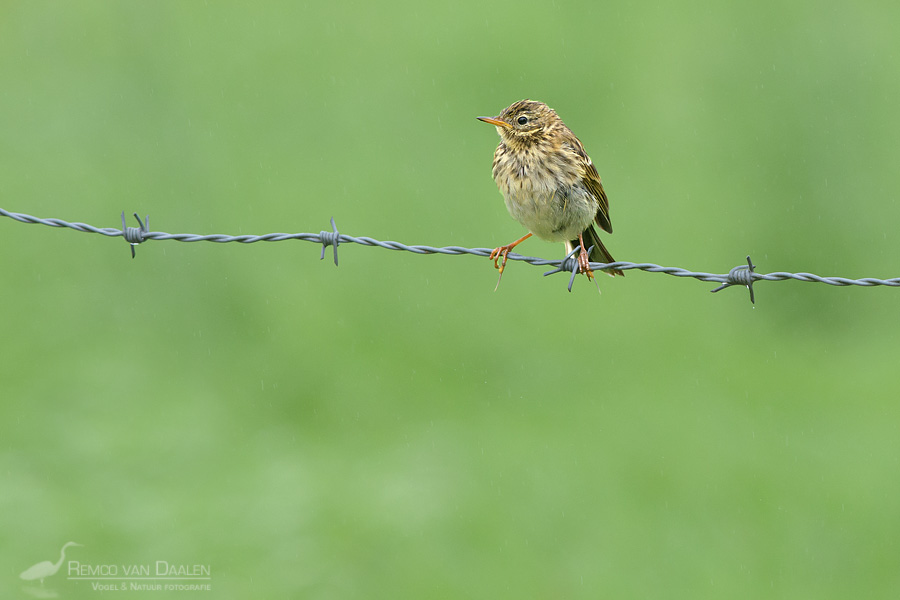 Graspieper | Meadow Pipit | Anthus pratensis