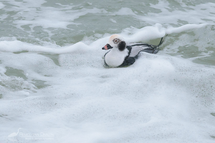 IJseend | Long-tailed Duck | Clangula hyemalis