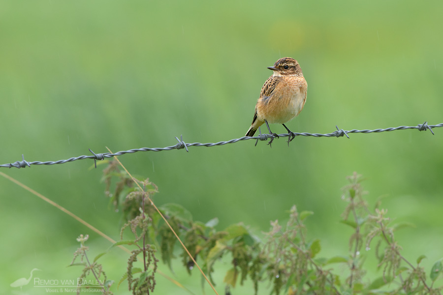 Paapje | Whinchat | Saxicola rubetra