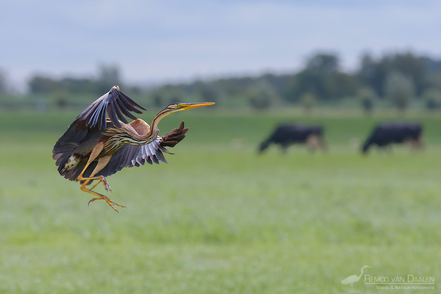 Purperreiger | Purple Heron | Ardea purpurea